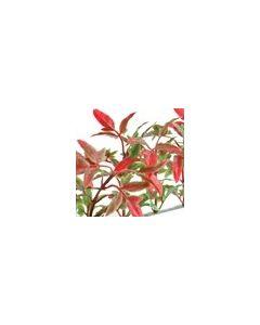 Dalebrook Red/Green New England Garnish Divider - (12 Pack)